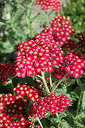 Red Velvet Yarrow (Achillea millefolium 'Red Velvet') at Spruce It Up Garden Centre