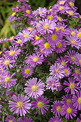 Celeste Aster (Aster novi-belgii 'Celeste') at Spruce It Up Garden Centre