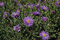 Sapphire Aster (Aster dumosus 'Sapphire') at Spruce It Up Garden Centre
