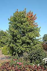 Sienna Glen Maple (Acer x freemanii 'Sienna') at Spruce It Up Garden Centre