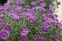 Believer Aster (Aster 'Believer') at Spruce It Up Garden Centre