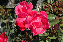 Pink Knock Out® Rose (Rosa 'Radcon') at Spruce It Up Garden Centre
