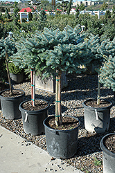 Globe Blue Spruce (tree form) (Picea pungens 'Globosa (tree form)') at Spruce It Up Garden Centre