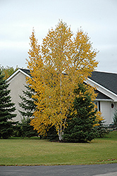 Clump Paper Birch (Betula papyrifera '(clump)') at Spruce It Up Garden Centre
