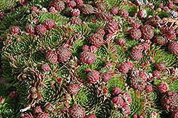 Red Beauty Hens And Chicks (Sempervivum 'Red Beauty') at Spruce It Up Garden Centre