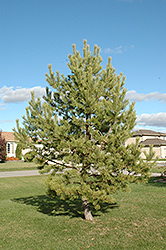 French Blue Scotch Pine (Pinus sylvestris 'French Blue') at Spruce It Up Garden Centre