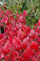 Burning Bush (tree form) (Euonymus alatus '(tree form)') at Spruce It Up Garden Centre
