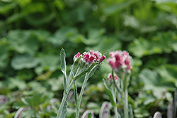Red Pussytoes (Antennaria dioica 'Rubra') at Spruce It Up Garden Centre