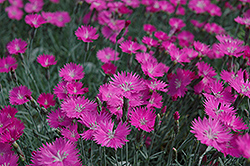 Firewitch Pinks (Dianthus gratianopolitanus 'Firewitch') at Spruce It Up Garden Centre
