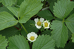 Ozark Beauty Strawberry (Fragaria 'Ozark Beauty') at Spruce It Up Garden Centre