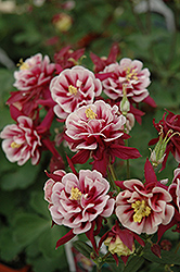 Double Red And White Columbine (Aquilegia vulgaris 'Double Red And White') at Spruce It Up Garden Centre