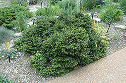 Pumila Norway Spruce (Picea abies 'Pumila') at Spruce It Up Garden Centre