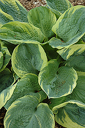 Pizzazz Hosta (Hosta 'Pizzazz') at Spruce It Up Garden Centre