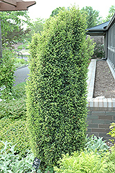Gold Cone Juniper (Juniperus communis 'Gold Cone') at Spruce It Up Garden Centre