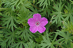 Tiny Monster Cranesbill (Geranium 'Tiny Monster') at Spruce It Up Garden Centre