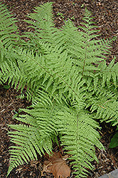 Tatting Fern (Athyrium filix-femina 'Frizelliae') at Spruce It Up Garden Centre