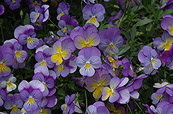 Rebel Blue and Yellow Pansy (Viola 'Rebel Blue and Yellow') at Spruce It Up Garden Centre