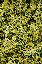 Emerald 'n' Gold Wintercreeper (Euonymus fortunei 'Emerald 'n' Gold') at Spruce It Up Garden Centre
