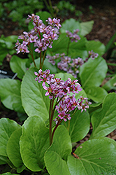 Purpleleaf Bergenia (Bergenia purpurascens) at Spruce It Up Garden Centre