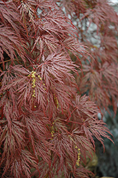 Inaba Shidare Cutleaf Japanese Maple (Acer palmatum 'Inaba Shidare') at Spruce It Up Garden Centre