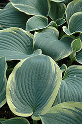 American Halo Hosta (Hosta 'American Halo') at Spruce It Up Garden Centre