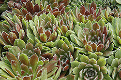 Ashes of Roses Hens And Chicks (Sempervivum 'Ashes of Roses') at Spruce It Up Garden Centre