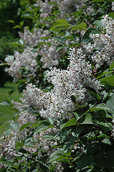Late Lilac (Syringa villosa) at Spruce It Up Garden Centre
