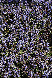 Metallica Crispa Bugleweed (Ajuga pyramidalis 'Metallica Crispa') at Spruce It Up Garden Centre