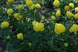 Lemon Queen Globeflower (Trollius x cultorum 'Lemon Queen') at Spruce It Up Garden Centre
