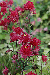 Clementine Red Columbine (Aquilegia vulgaris 'Clementine Red') at Spruce It Up Garden Centre