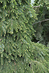 Bruns Weeping Spruce (Picea omorika 'Pendula Bruns') at Spruce It Up Garden Centre