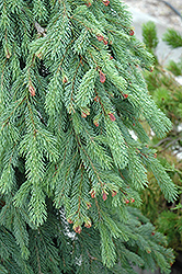 Weeping White Spruce (Picea glauca 'Pendula') at Spruce It Up Garden Centre