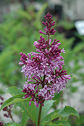 Royalty Lilac (Syringa x prestoniae 'Royalty') at Spruce It Up Garden Centre