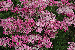 Pink Grapefruit Yarrow (Achillea 'Pink Grapefruit') at Spruce It Up Garden Centre