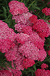 Saucy Seduction Yarrow (Achillea millefolium 'Saucy Seduction') at Spruce It Up Garden Centre