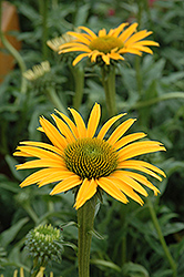 Mac 'n' Cheese Coneflower (Echinacea 'Mac 'n' Cheese') at Spruce It Up Garden Centre