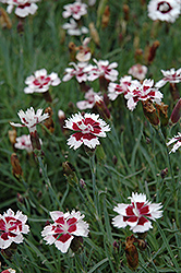 Brilliant Star Pinks (Dianthus 'Brilliant Star') at Spruce It Up Garden Centre