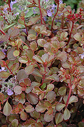 Bronze Carpet Stonecrop (Sedum spurium 'Bronze Carpet') at Spruce It Up Garden Centre