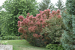 Royal Purple Smokebush (Cotinus coggygria 'Royal Purple') at Spruce It Up Garden Centre