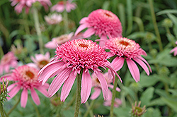 Cone-fections™ Pink Double Delight Coneflower (Echinacea purpurea 'Pink Double Delight') at Spruce It Up Garden Centre