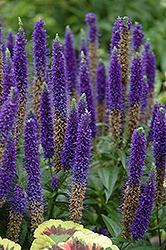 Royal Candles Speedwell (Veronica spicata 'Royal Candles') at Spruce It Up Garden Centre