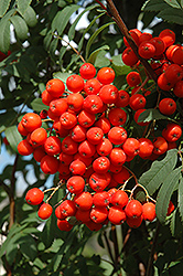 Pyramidal Mountain Ash (Sorbus aucuparia 'Fastigiata') at Spruce It Up Garden Centre