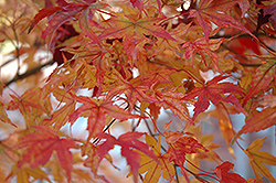 Butterfly Variegated Japanese Maple (Acer palmatum 'Butterfly') at Spruce It Up Garden Centre