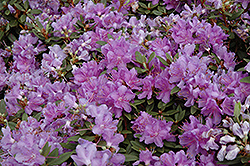 Purple Gem Rhododendron (Rhododendron 'Purple Gem') at Spruce It Up Garden Centre
