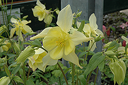 Music Yellow Columbine (Aquilegia 'Musik Yellow') at Spruce It Up Garden Centre