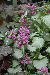 Ghost Spotted Dead Nettle (Lamium maculatum 'Ghost') at Spruce It Up Garden Centre