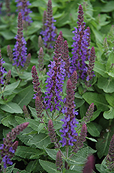 Sensation Deep Blue Sage (Salvia nemorosa 'Sensation Deep Blue') at Spruce It Up Garden Centre
