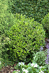 Winter Gem Boxwood (Buxus microphylla 'Winter Gem') at Spruce It Up Garden Centre