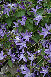 Serbian Bellflower (Campanula poscharskyana) at Spruce It Up Garden Centre