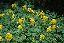 Golden Corydalis (Corydalis lutea) at Spruce It Up Garden Centre